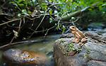 Borneo River Toad (Bufo asper) on stream side stone. Danum Valley, Sabah, Borneo.