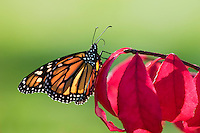 Monarch Butterfly (Danaus plexippus) on Burning Bush shrub (Euonymus alata). Monarch has probiscus out to sip moisture left by dew on leaves. Early Fall. Nova Scotia, Canada.