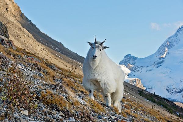 Mountain goat (Oreamnos americanus).  October, Northern Rockies.