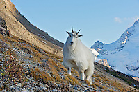 Mountain goat (Oreamnos americanus).  October, Northern Rockies.