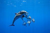 Indo-Pacific bottlenose dolphin, Tursiops aduncus, Chichi-jima, Bonin Islands, Ogasawara, Tokyo, Japan, Pacific Ocean