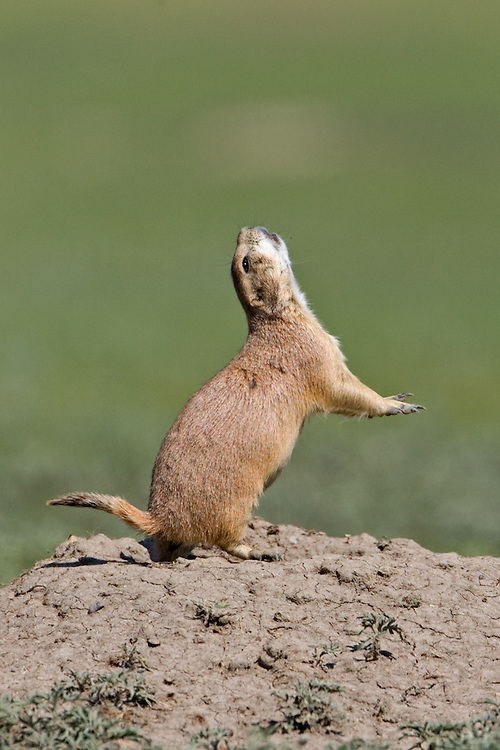 "Prairie dog giving the ""all clear"" signal"