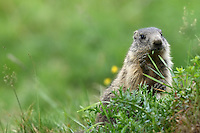 Young Marmot eating Grass