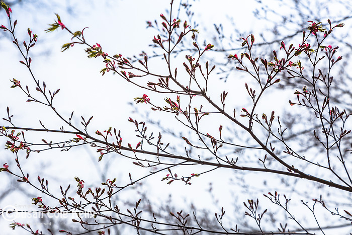 Japanese Maple buds in spring at the Arnold Arboretum, part of Boston's Emerald Necklace in the Jamaica Plain neighborhood of Boston, MA, USA