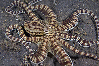 mimic octopus, Thaumoctopus mimicus, Lembeh Strait, North Sulawesi, Indonesia, Pacific Ocean