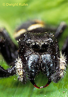 JS01-001x  Jumping Spider - male showing jaws - Phidippus clarus