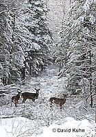 "1228-07qq  White-tailed Deer ""Small Herd in Winter"" - Odocoileus virginianus - © David Kuhn/Dwight Kuhn Photography"