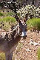 0711-1006  Wild Burro (Feral Donkey), Mojave Desert, Equus africanus asinus  © David Kuhn/Dwight Kuhn Photography