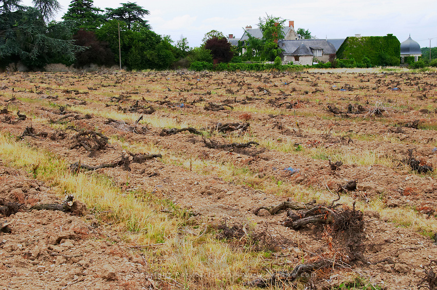 Vineyard with dead pulled-up vines for replanting. Savennieres, Anjou, Loire, France