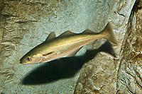 pollack, family: Gadidae, Pollachius virens, range: North Atlantic ( c )