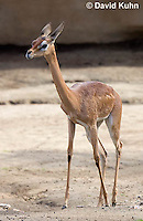 0523-1104  Southern Gerenuk, Litocranius walleri walleri  © David Kuhn/Dwight Kuhn Photography
