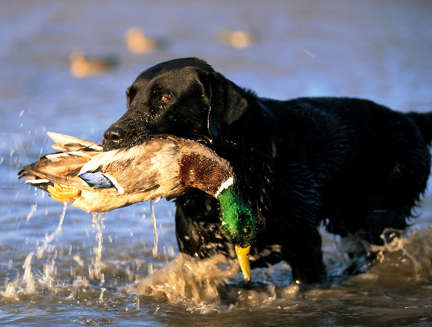 A Black Labrador dog retrieves a duck from the water.