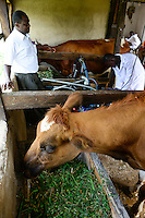 KENIA, County Kakamega, Bukura, ATDC Agricultural Technology Development Center, milking with machine / Melken mit Melkmaschine