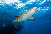 Lemon shark from below, Negaprion brevirostris, Swimming at surface, Tiger Beach, Bahamas, Caribbean Sea, Atlantic Ocean