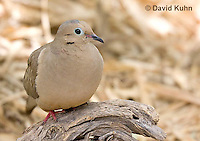 0611-1107  Mourning Dove in Arizona Desert (Sonoran Desert), Zenaida macroura  © David Kuhn/Dwight Kuhn Photography