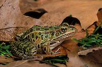 Northern Leopard Frog..Ontario, Canada..Autumn. Rana pipiens.
