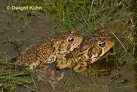 FR11-506z  American Toads mating in pond, Bufo americanus or Anaxyrus americanus