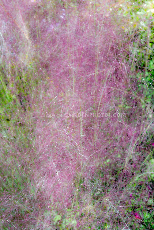 Muhlenbergia capillaris, Hairy-awn Muhly Grass, Hair Grass,  ornamental, billowy airy mist of pink lavender flowers
