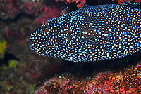 Guineafowl Puffer (Arothron meleagris), close-up; underwater view,, Ecuador, Galapagos Archipelago,