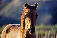 Wild horse mare.  Western U.S..(Equus caballus)