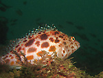 Kenting, Taiwan -- A pixy hawkfish surveying the coral reef.