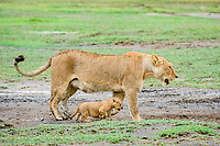lion (Panthera leo), mother with its 4 weeks old cubs, Ndutu, Ngorongoro Conservation Area, Serengeti, Tanzania, Africa