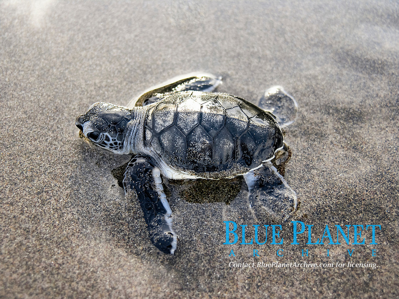 green sea turtle hatchling, Chelonia mydas, runs to the sea, Dominica, West Indies, Caribbean, Atlantic