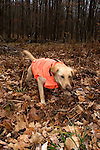 Yellow Labrador retriever (AKC) taking off to retrieve a dummy.  Fall.  Winter, WI.