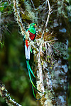 Male resplendent quetzal (Pharomachrus mocinno) in cloud forest canopy. Los Quetzales National Park, Savegre River Valley, Talamanca Range, Costa Rica, Central America.