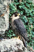 Wanderfalke, Wander-Falke, Falke, Falco peregrinus, peregrine