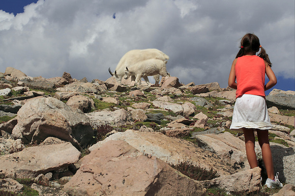 Girl watching two Mountain Goats on the slopes of Mount Evans (14250 feet),  west of Denver, Colorado.