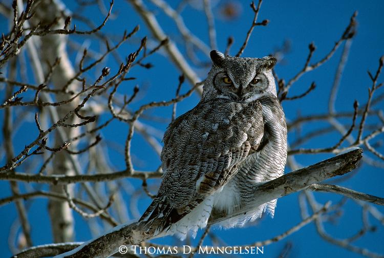 Orvis Owl - Great Horned Owl (Bubo virginianus)..Saskatchewan, Canada..Print 1135