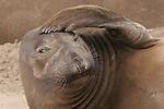 Elephant seals, females & pups.