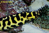 0120-08ss  Convict Blenny - Pholidichthys leucotaenia © David Kuhn/Dwight Kuhn Photography
