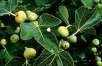 Echte Feige, Früchte, Feigen, Ficus carica, Fig