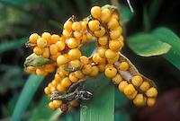Iris foetidissima 'Straw Fruited Form' seed heads