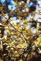 Deciduous Beech (Nothofagus gunnii), yellow in autumn, along the Overland Track, Cradle Mountain Lake St Clair National Park, Tasmania, Australia.