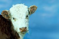 Calf with blue sky