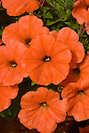 PETUNIA 'GOOD AND PLENTY EXPERIMENTAL' (TERRACOTTA)