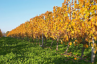 Vines in the vineyard Vignoble Tour de Verdots in Bergerac, owned by David Fourtout in autumn evening sunshine giving the leaves a golden glow Autumn colours in the vineyard in late afternoon evening sunshine, red, brown, yellow leaves Domaine Vignoble des Verdots Conne de Labarde Bergerac Dordogne France
