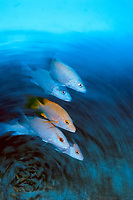 artistic photograph showing a school of Gray Snapper, Lutjanus griseus, Bonaire, Netherlands Antilles, Atlantic Ocean