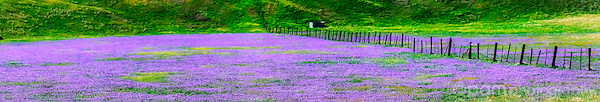 panoramic of field with purple flowers and old wooden fence