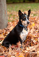 Australian Cattle dog mix with fall leave on head