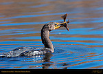 Cormorant with Prey, Double-crested Cormorant, Sepulveda Wildlife Refuge, Southern California