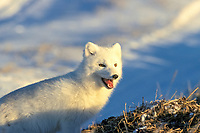 Arctic fox, Vulpes lagopus, near Churchill, Manitoba, northern Canada