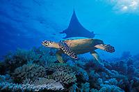 hawksbill sea turtle, Eretmochelys imbricata, and manta ray, Mobula alfredi, Layang Layang Atoll, Malaysia (South China Sea)