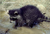 MA25-004z  Raccoon - young animal at pond, stream - Procyon lotor