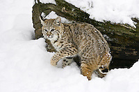 Young Bobcat standing in front of a snow covered log - CA