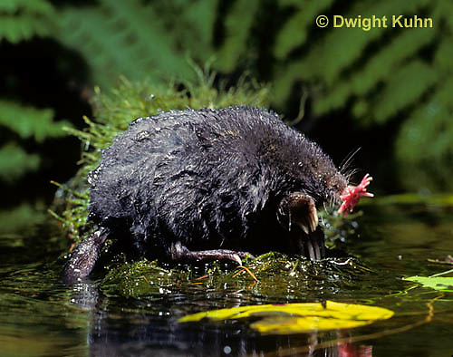 MB17-011z  Star-nosed Mole - resting on rock after a swim - Condylura cristata