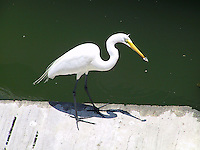 Great egret with perch